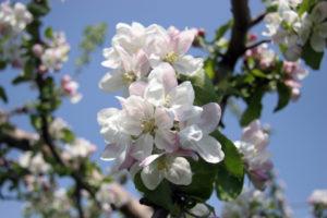 青森県の県花