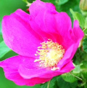 北海道の道花