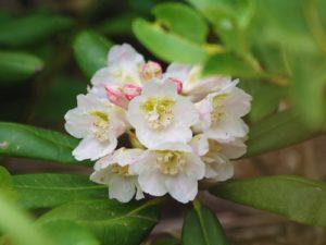 福島県の県花