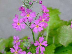 埼玉県の県花