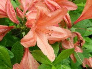 群馬県の県花