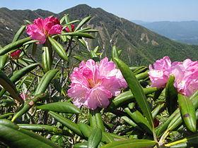 滋賀県の県花