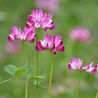 岐阜県の県花