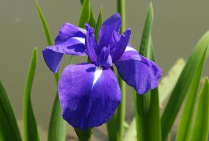 愛知県の県花