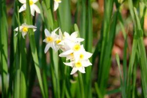 福井県の県花