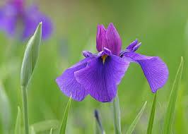 三重県の県花
