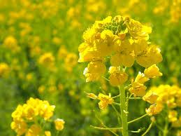 菜の花ハーバリウム