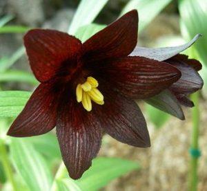 石川県の県花