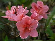 静岡県の県花