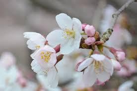 国花とハーバリウム「桜」編