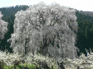 桜ハーバリウム