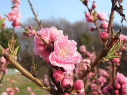 岡山県の県花