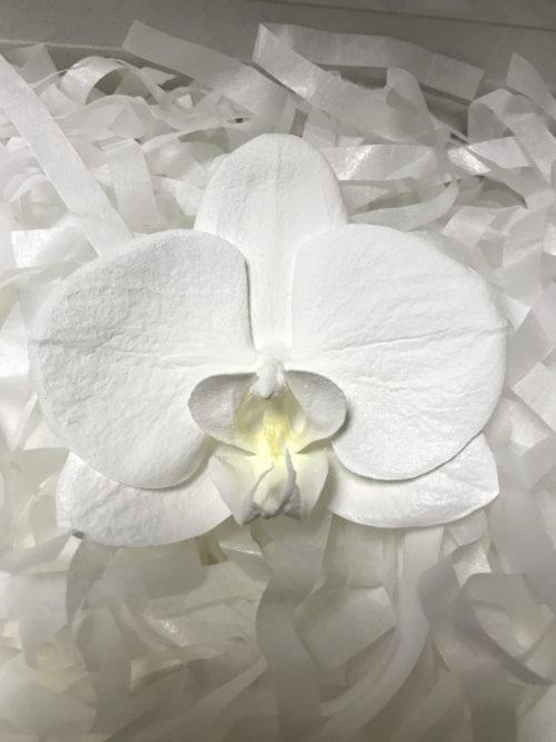 胡蝶蘭でハーバリウムを作成します!