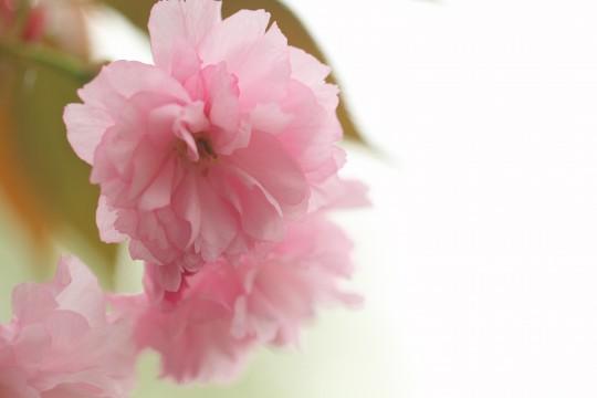 奈良県の県花