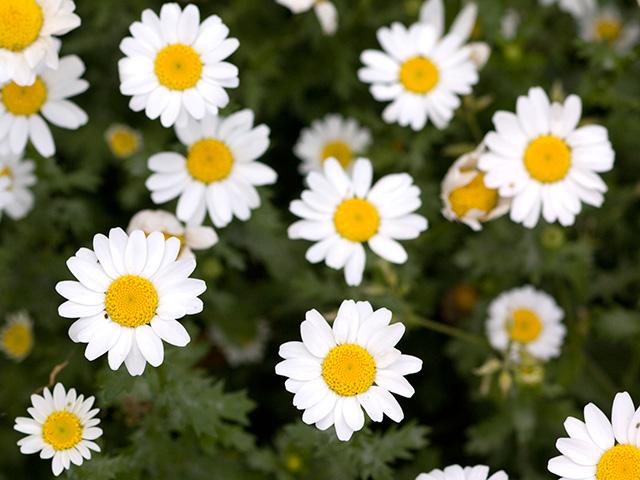 兵庫県の県花