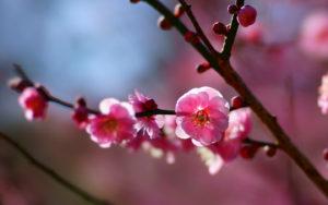 日本の花とハーバリウム「梅」編