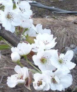 鳥取県の県花
