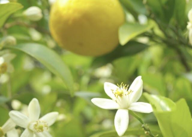 山口県の県花