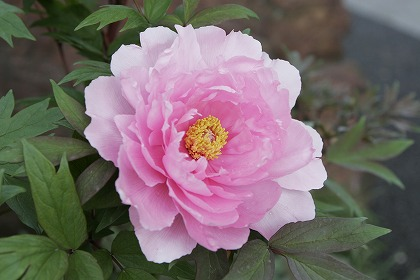 島根県の県花