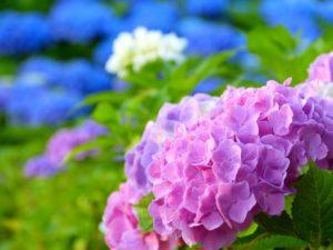 身近な花あじさいハーバリウムの魅力