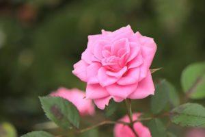 ピンクのバラでお祝いハーバリウム